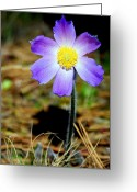 Pasqueflower Greeting Cards - Pasqueflower Greeting Card by Merle Ann Loman