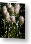 Pasqueflower Greeting Cards - Pasqueflower Seedhead Greeting Card by David Patterson