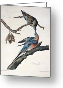 Feeding Drawings Greeting Cards - Passenger Pigeon Greeting Card by John James Audubon