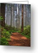 Redwood Greeting Cards - Path Thru the Redwoods Greeting Card by Michael  Ayers