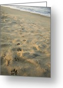 Dog Prints Photo Greeting Cards - Paw Prints In The Sand Greeting Card by Roberto Westbrook