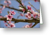 Braches Greeting Cards - Peach Blossom (prunus Persica) Greeting Card by Bob Gibbons