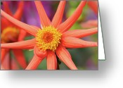 Dahlia Greeting Cards - Peach Dahlia Greeting Card by Darren Moston