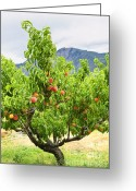 Peach Greeting Cards - Peaches on tree Greeting Card by Elena Elisseeva