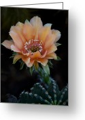 Night Blooming Greeting Cards - Peachy Keen  Greeting Card by Saija  Lehtonen