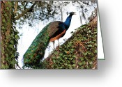 National Bird Greeting Cards - Peacock Calling Greeting Card by Kristin Elmquist