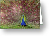 Indian Yellow Greeting Cards - Peacock Greeting Card by Carlos Caetano