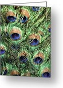 Tail Feather Greeting Cards - Peacock Feathers Greeting Card by John Foxx