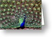 Henry Doorly Zoo Greeting Cards - Peacock Feathers Greeting Card by Karen M Scovill