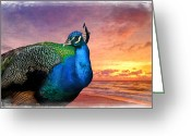 Paradise Pier Greeting Cards - Peacock in Paradise Greeting Card by Debra and Dave Vanderlaan