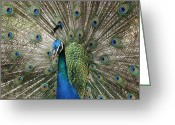 ; Maui Greeting Cards - Peacock Indian Blue Greeting Card by Sharon Mau