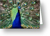 Colorful Photography Greeting Cards - Peacock Greeting Card by Karen M Scovill