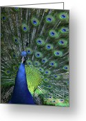 Courting Greeting Cards - Peacock Greeting Card by Sabrina L Ryan
