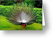 Tail Feather Greeting Cards - Peacocks Tail Greeting Card by Roberto Alamino