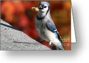 Bluejay Birds Greeting Cards - Peanut Snatcher Greeting Card by Debra Straub