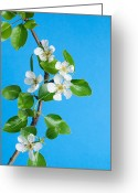 Tom Biegalski Greeting Cards - Pear tree flowers Greeting Card by Tom Biegalski