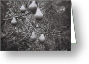 White Greeting Cards - Pear Tree Greeting Card by Lynn-Marie Gildersleeve