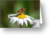 Susan Stevens Crosby Greeting Cards - Pearl Crescent on a daisy Greeting Card by Susan Stevens Crosby