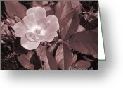Brown Leaves Greeting Cards - Pearl Rose Greeting Card by Marsha Heiken