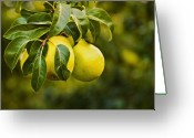 Ripened Fruit Greeting Cards - Pears to Pick Greeting Card by Marion McCristall