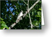 Woodpecker Photos Greeting Cards - Pecking Pause  Greeting Card by Neal  Eslinger