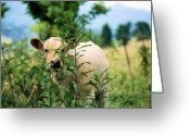 Charolais Greeting Cards - Peek A Boo Greeting Card by Jan Amiss Photography