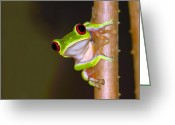 Red Eyed Leaf Frog Greeting Cards - Peepers Greeting Card by Tony Beck