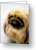 Panting Dog Greeting Cards - Pekingese Greeting Card by Andrew Fladeboe