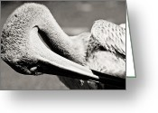 Interesting Art Greeting Cards - Pelican Greeting Card by Justin Albrecht