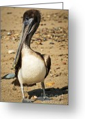 Pelican Greeting Cards - Pelican on beach in Mexico Greeting Card by Elena Elisseeva