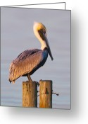 Pelican Photo Greeting Cards - Pelican Perch Greeting Card by Janet Fikar