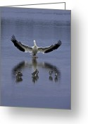 Black Wings Greeting Cards - Pelican Protector - Florida Wildlife Scene Greeting Card by Rob Travis