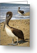 Foam Greeting Cards - Pelicans on beach in Mexico Greeting Card by Elena Elisseeva