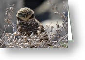Burrowing Owl Greeting Cards - Penetrating Eyes Greeting Card by Fraida Gutovich