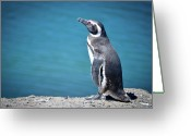 Sea Bird Greeting Cards - Penguin At Península Valdés Greeting Card by Marcos Radicella