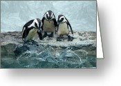Splashing Greeting Cards - Penguins Greeting Card by Fotografias de Rodolfo Velasco