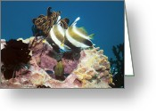 Pennant Greeting Cards - Pennant Bannerfish And Peacock Grouper Greeting Card by Georgette Douwma