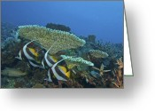 Pennant Greeting Cards - Pennant Bannerfish In The Indian Ocean Greeting Card by Jad Davenport