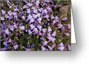 Crevice Greeting Cards - Penstemon Davidsonii Greeting Card by Bob Gibbons