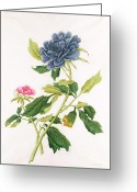 Georg Greeting Cards - Peony Greeting Card by Georg Dionysius Ehret