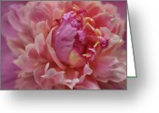 Indiana Flowers Greeting Cards - Peony Opening Greeting Card by Sandy Keeton