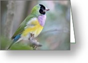 Vibrant Colors Greeting Cards - Perched Gouldian Finch Greeting Card by Glennis Siverson