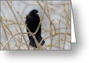 Red Wing Blackbird Greeting Cards - Perched Greeting Card by Michel Soucy