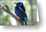 Black Wings Greeting Cards - Perched Red Legged Honeycreeper Greeting Card by Glennis Siverson