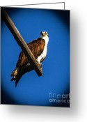 Fishers Greeting Cards - Perching Osprey Greeting Card by Robert Bales