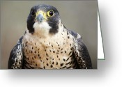 Bird Of Prey Digital Art Greeting Cards - Peregrine Falcon Greeting Card by Paulette  Thomas