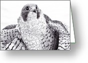 Falcon Drawings Greeting Cards - Peregrine Falcon Greeting Card by Wade Clark