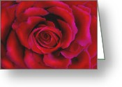 Xmas Greeting Cards - Perfect Rose Greeting Card by Joel Payne