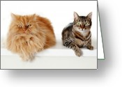 Persian Greeting Cards - Persian Cat And Tabby Cat Together Greeting Card by Hulya Ozkok