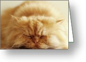 Indoors Greeting Cards - Persian Cat Sleeping Greeting Card by Hulya Ozkok